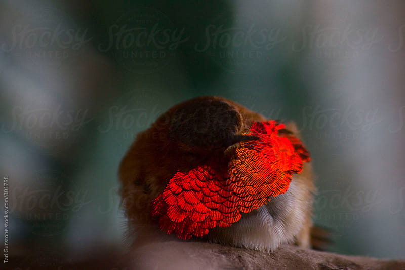 Close-up of a Rufous hummingbird by Tari Gunstone for Stocksy United