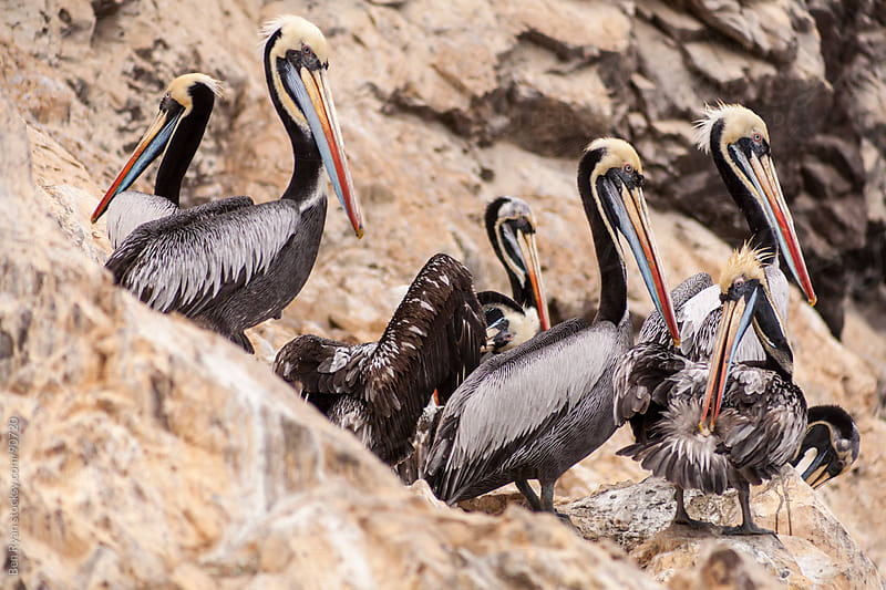 Colourful pelicans preening on a rocky outcrop by Ben Ryan for Stocksy United