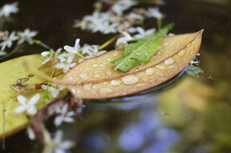 leaf floating on the water by otto schulze for Stocksy United