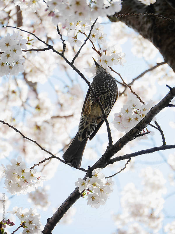 Bird perched amongst cherry blossom by rolfo for Stocksy United