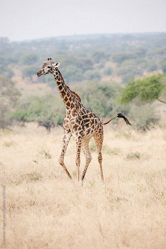 walking giraffe by Cameron Zegers for Stocksy United