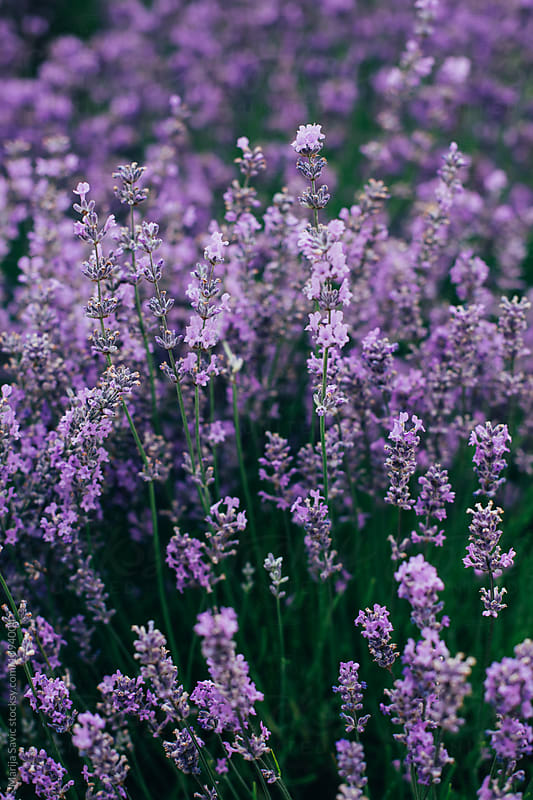 Lavender Field by Marija Savic for Stocksy United