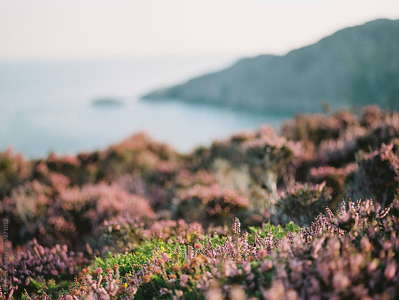 heather in the morning sun, by the sea. by Léa Jones for Stocksy United