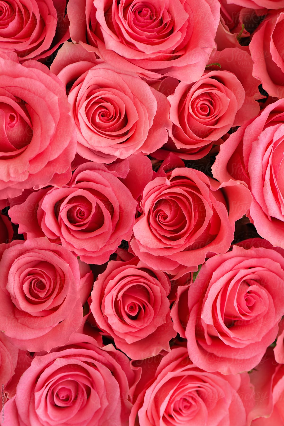 Pink Roses Background Stocksy United