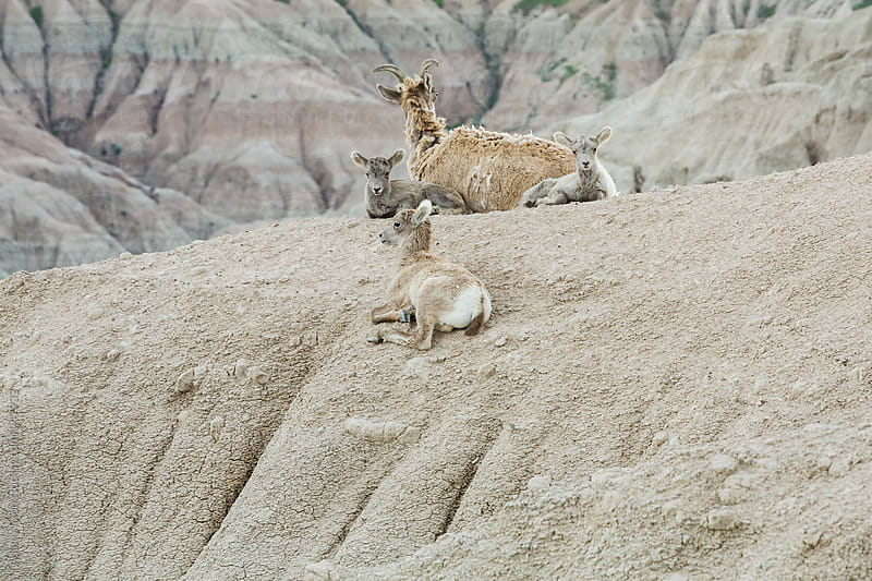 Family of bighorn sheep by Adam Nixon for Stocksy United