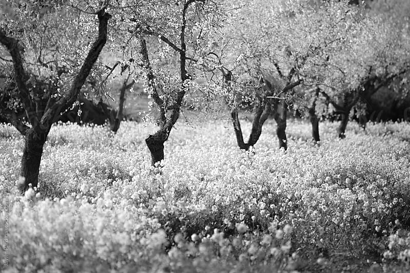 Typical spring landscape with blossoming almond trees in black and white by Javier Pardina for Stocksy United