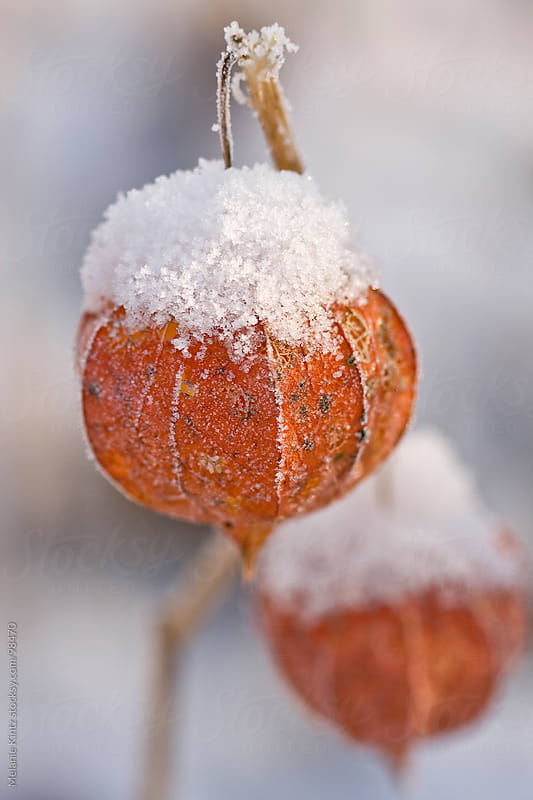 Chinese lanterns covered with snow, shallow depth of field by Melanie Kintz for Stocksy United