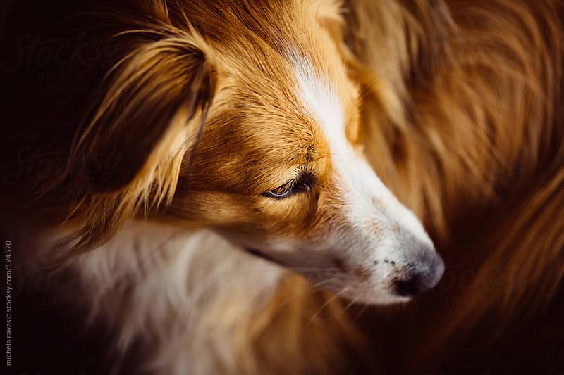 Beautiful dog by michela ravasio for Stocksy United