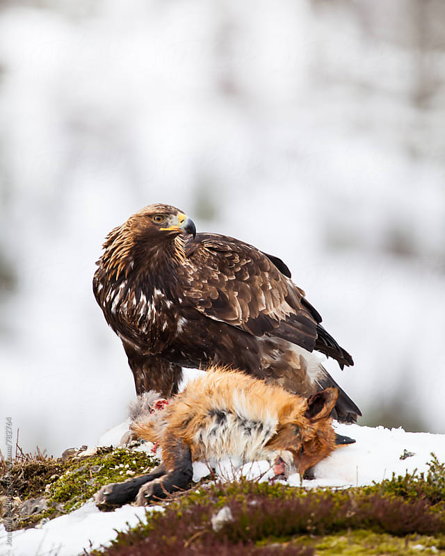 A golden eagle with a fox by Jonatan Hedberg for Stocksy United