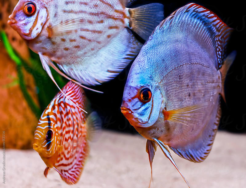 tropical discus fish by Andreas Gradin for Stocksy United