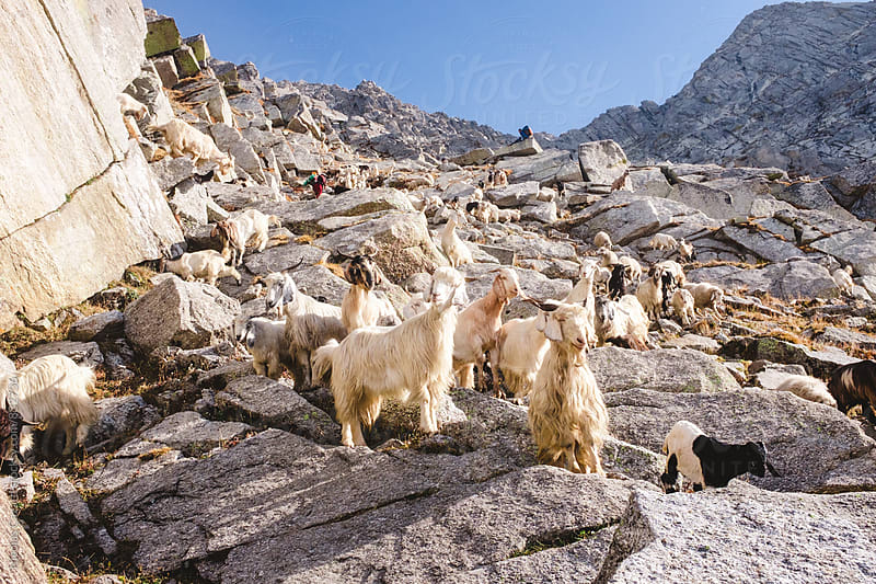 Himalayan Goats by Nicolas Cazard for Stocksy United