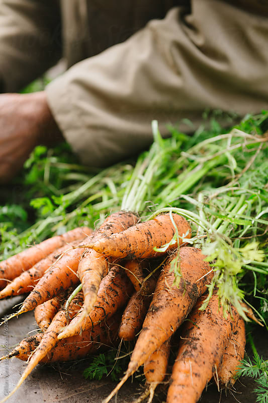 freshly dug organic carrots by Gillian Vann for Stocksy United