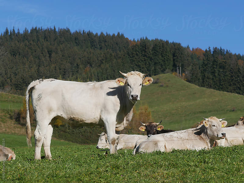 cows white meadow by rolfo for Stocksy United