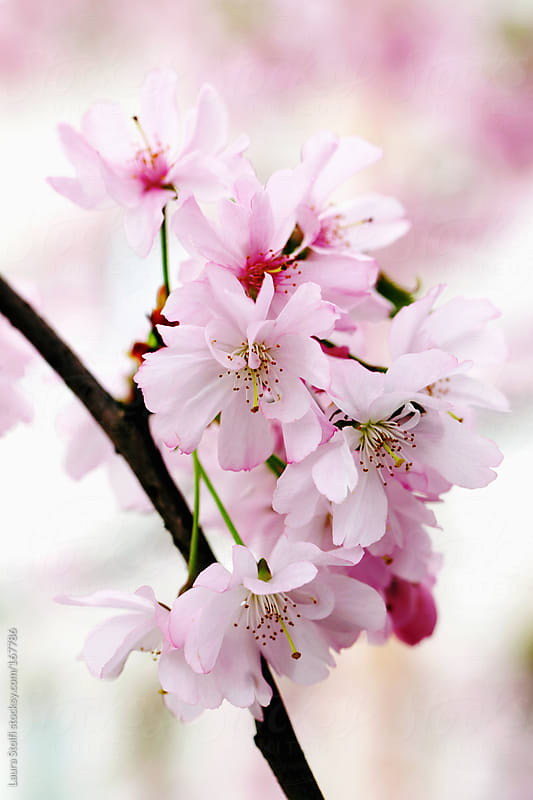 Close-up of pink Cherry flowers on the tree by Laura Stolfi for Stocksy United