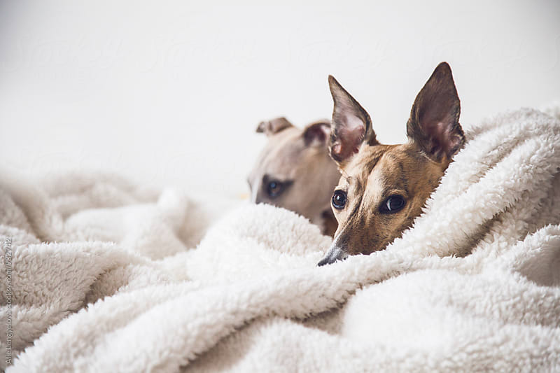 Two Whippets on The Bed by Alie Lengyelova for Stocksy United