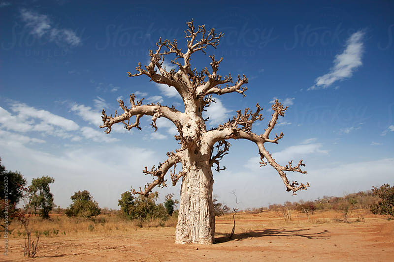 Bare baobab tree by Ferenc Boros for Stocksy United