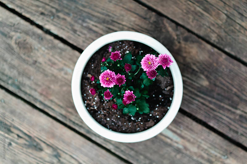 purple flowers in white pot by Jess Lewis for Stocksy United
