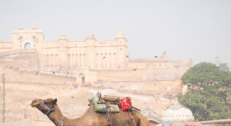 A camel with the Amber fort of India in the background. by Mike Marlowe for Stocksy United