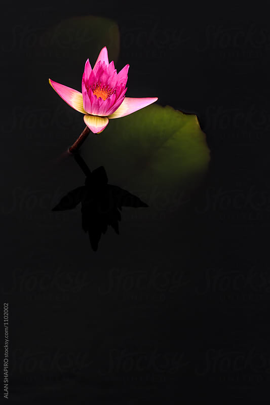 water lily by alan shapiro for Stocksy United