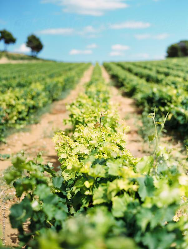 Vineyard in France by Kirstin Mckee for Stocksy United