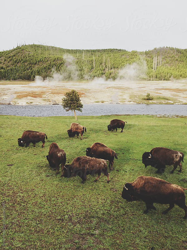 Yellowstone Bison Graze by Kevin Russ for Stocksy United