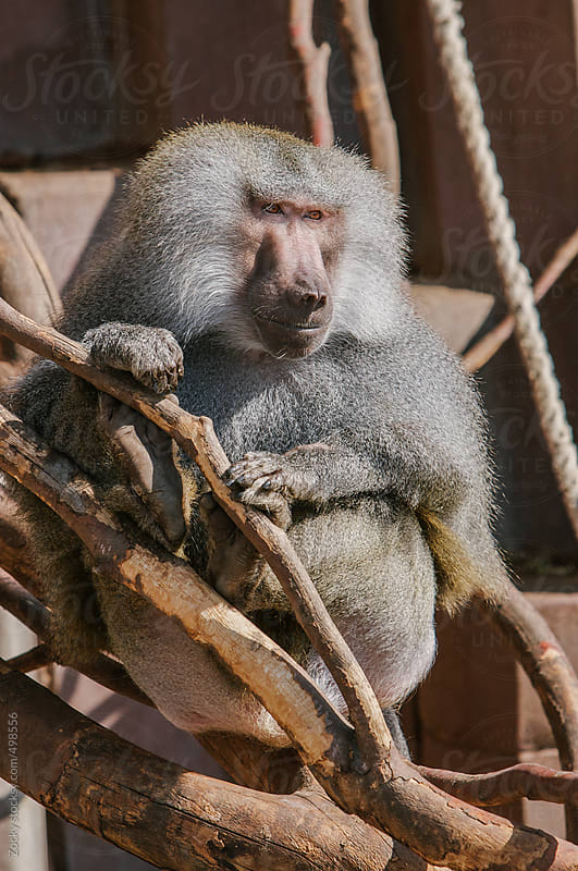 Baboon Monkey chilling by Zocky for Stocksy United