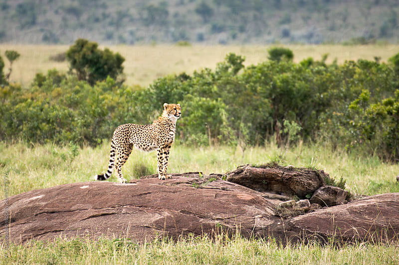 Cheetah on a stone in Africa's Masai Mara National Park by ACALU Studio for Stocksy United