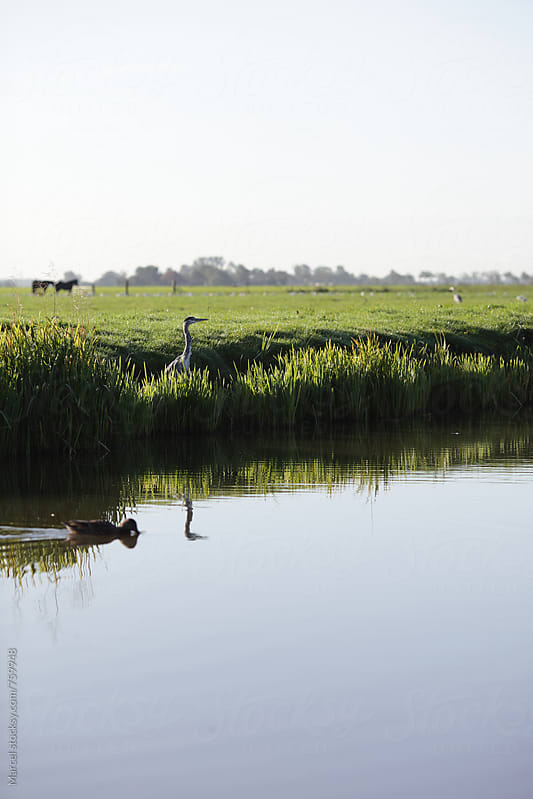heron fishing on the dutch countryside by Marcel for Stocksy United