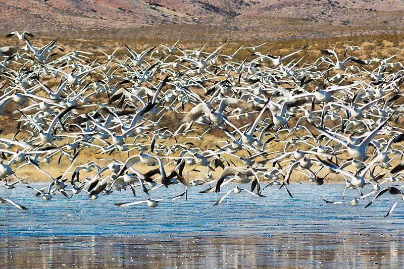 Snow geese in flight at Bosque in New Mexico by yuko hirao for Stocksy United