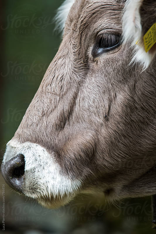 Cow closeup by Luca Pierro for Stocksy United