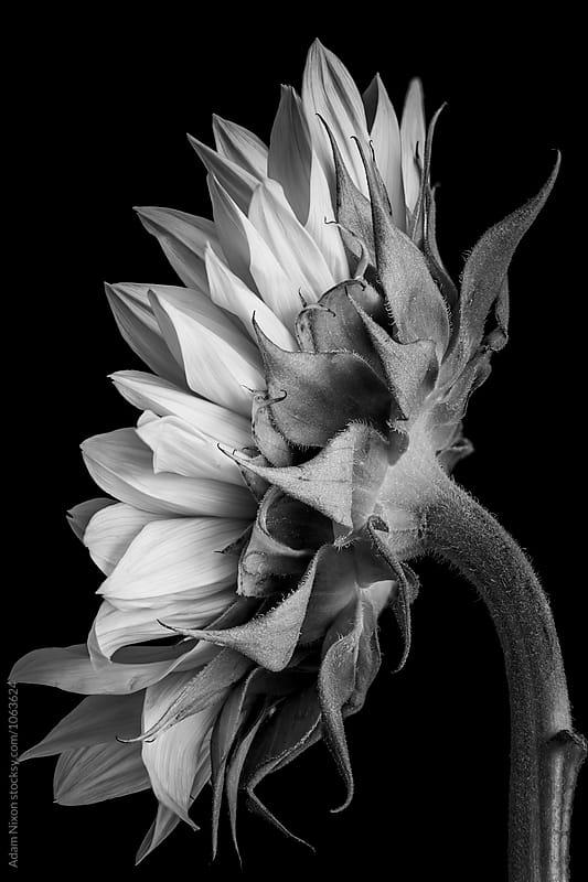 Sunflower by Adam Nixon for Stocksy United