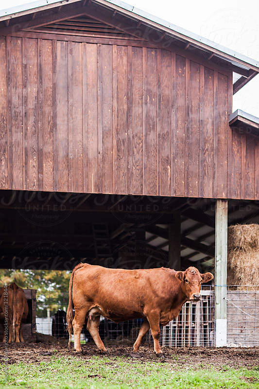 Cow in a farm by Suprijono Suharjoto for Stocksy United