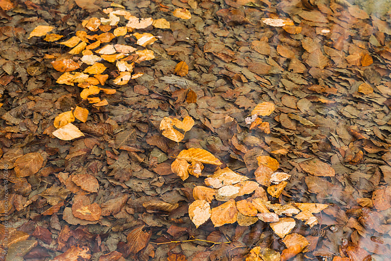 Fallen leaves floating on a creek in autumn by Marilar Irastorza for Stocksy United