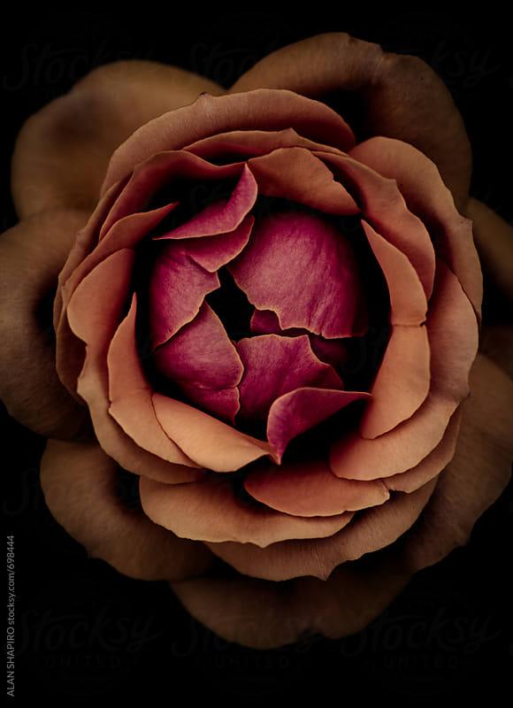 Ranunculus by alan shapiro for Stocksy United