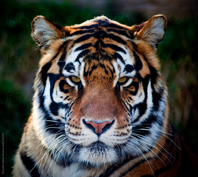 Bengal Tiger Close Up Portrait by Brandon Alms for Stocksy United