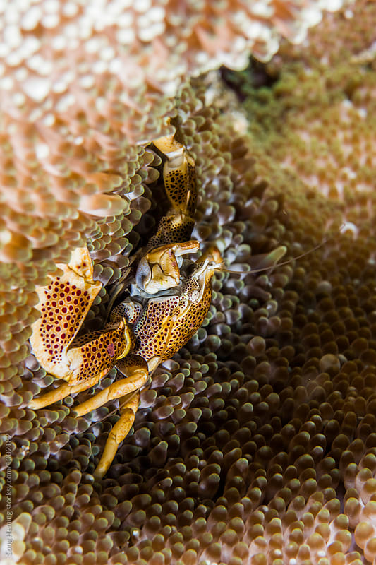 crab live in soft coral by Song Heming for Stocksy United