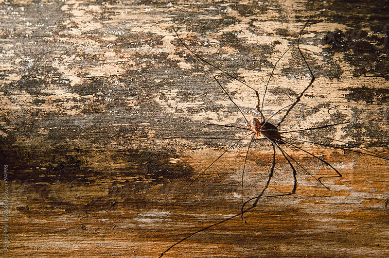 Daddy longlegs on a rough wood background by Deirdre Malfatto for Stocksy United