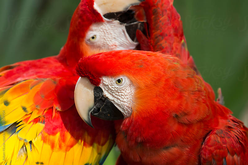 Two macaw parrots  affectionately preening each other by Adam Nixon for Stocksy United
