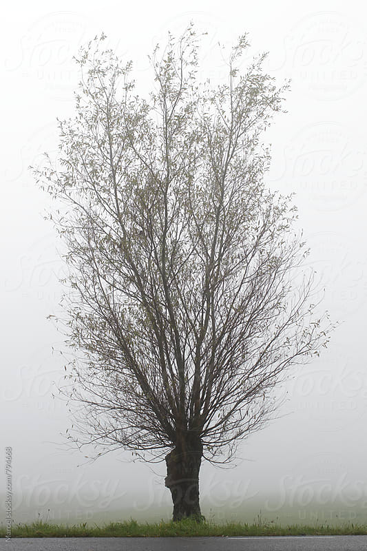 Pollarded willow in foggy rural landscape by Marcel for Stocksy United