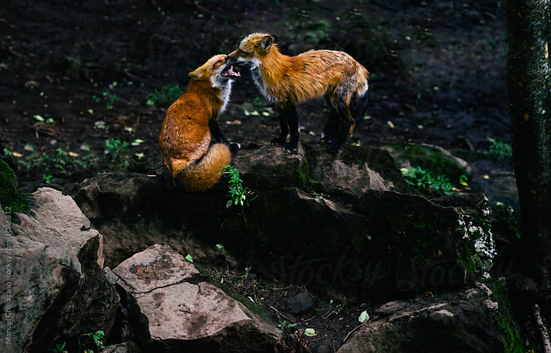 Two red foxes playfully fighting in the forest by Manuel Chillagano for Stocksy United