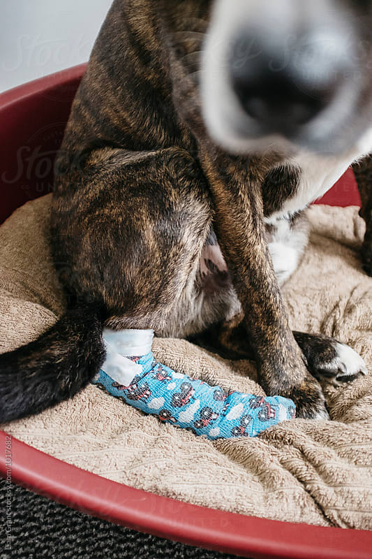 Dog with injured paw wrapped in a dressing. Norfolk, UK. by Liam Grant for Stocksy United