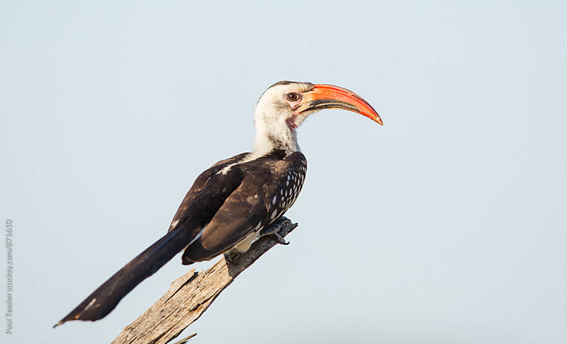 Red-billed hornbill by Paul Tessier for Stocksy United