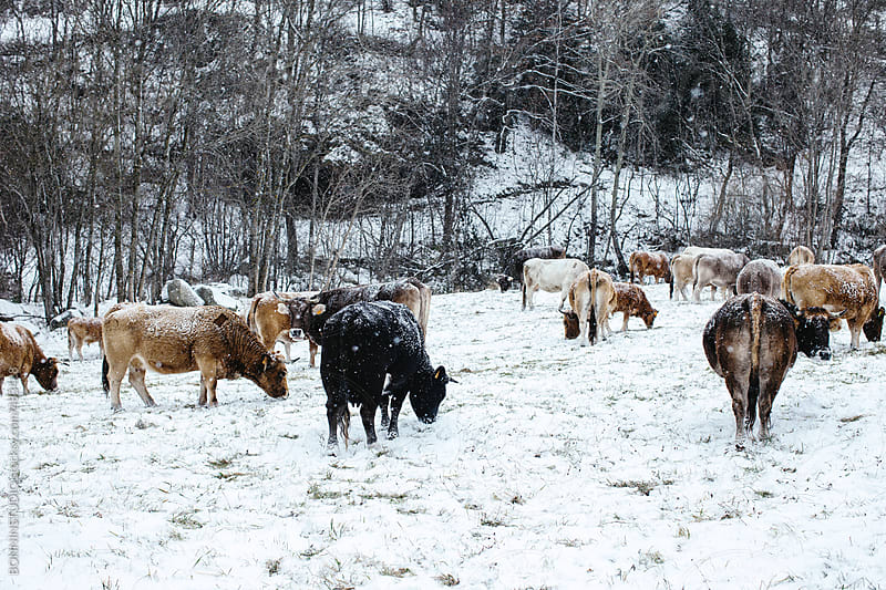 Big cows on a snowy forest.  by BONNINSTUDIO for Stocksy United