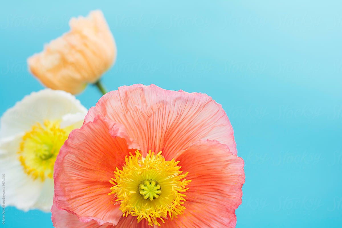 Colorful Poppy Flowers On Blue Background Stocksy United
