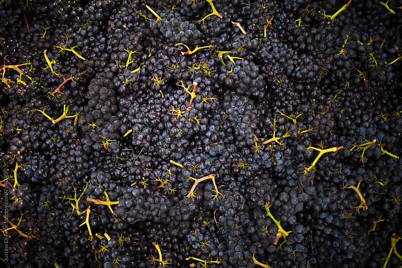 Pinot Noir Harvest by Justine Di Fede for Stocksy United