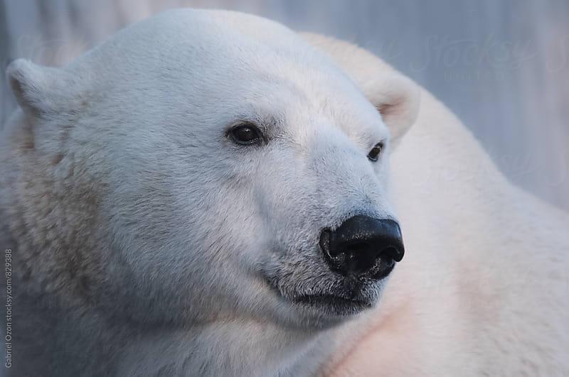 Polar Bear by Gabriel Ozon for Stocksy United