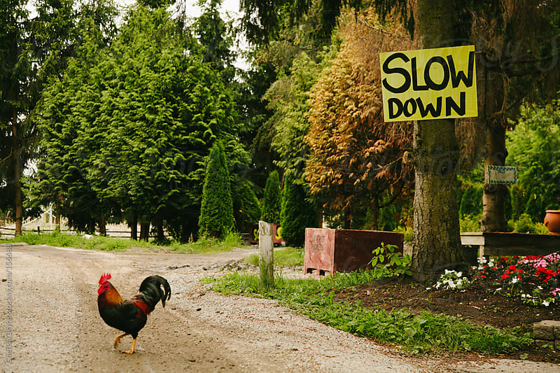 Rooster on the run! by Cherish Bryck for Stocksy United