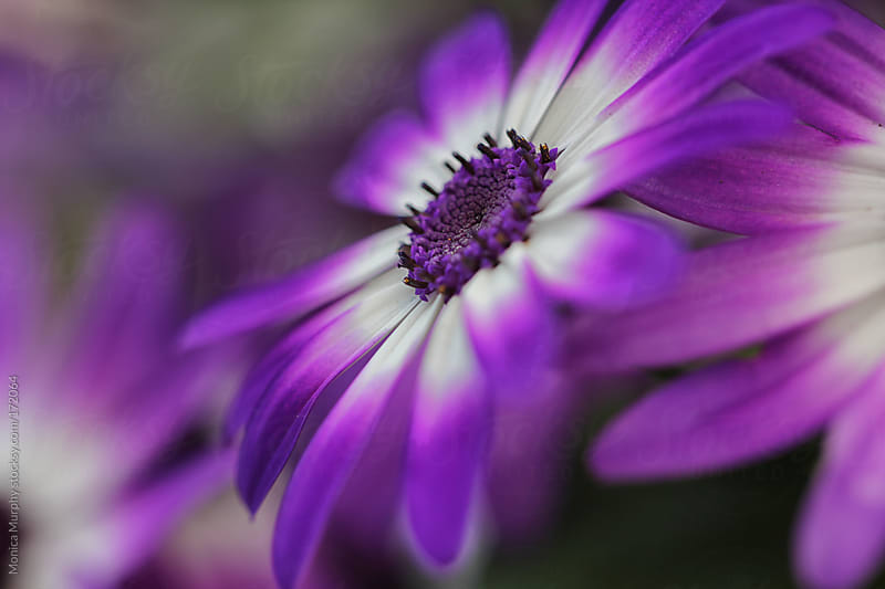 Purple and white daisy, focus on center of flower by Monica Murphy for Stocksy United