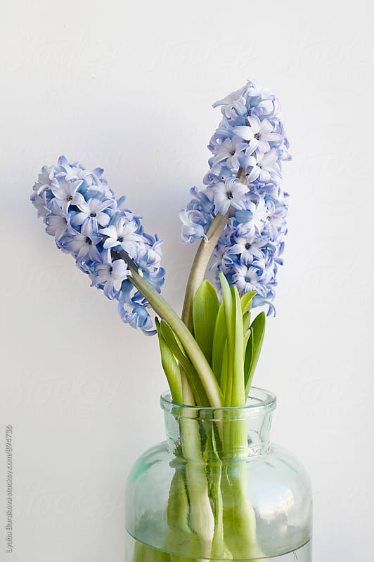 Hyacinth in a glass pot by Lyuba Burakova for Stocksy United