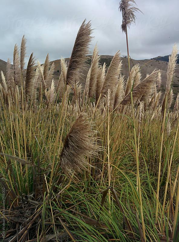 Pampas grass by Matthew Watson for Stocksy United